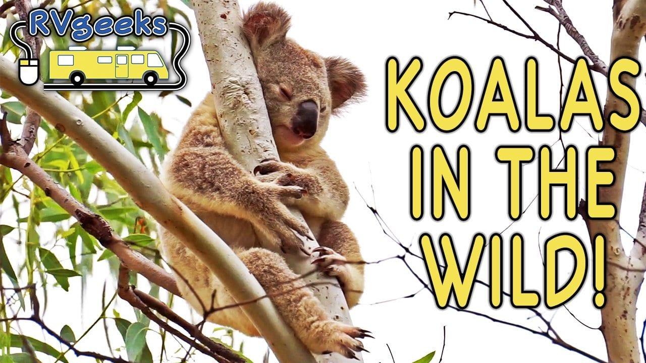 Magnetic Island Koalas in the Wild